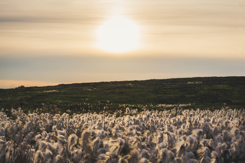Plantação de algodão